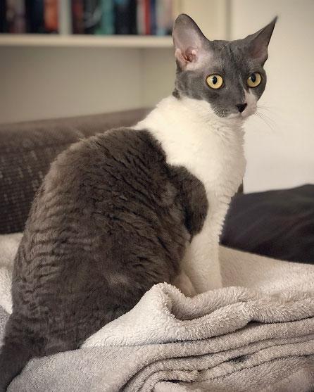 German Rex Cat Twenty