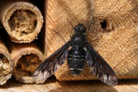 Schweber-Wollschweber (Bombyliidae)