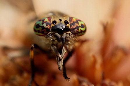 Bremsen (Tabanidae).