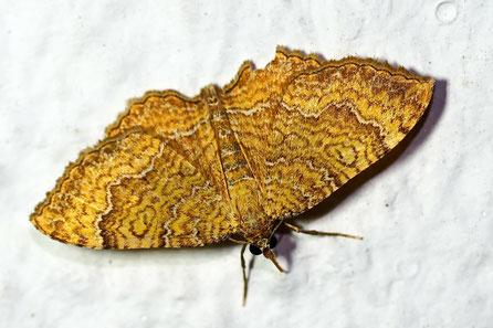Ockergelber Blattspanner C. lineata