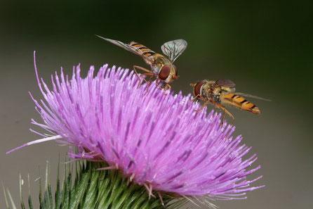 Schwebfliegen (Diptera)