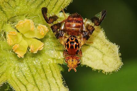 Bohrfliegen (Tephritidae)