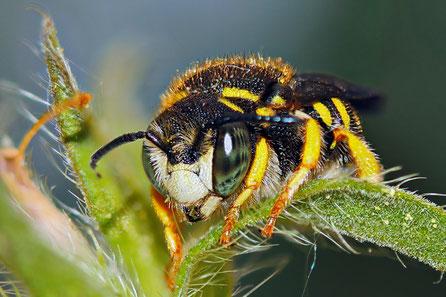 Bienen, Hummeln, Wildbienen (Hymenoptera)