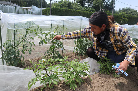 トマトコーナー。トマトは雨が多いと病気になりやすいので、ビニールカバーがかかっています。