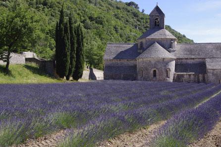 The famous cistercian abbey Notre dame de Senanque behind a lavender field