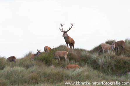 Dünen-Hirsch mit seinen Mädels