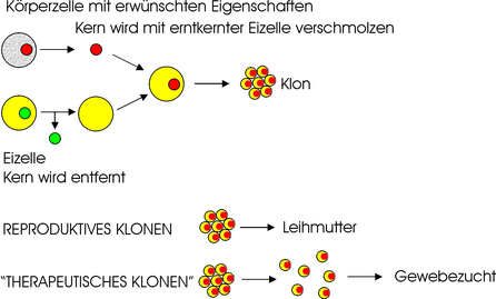 Quelle: https://upload.wikimedia.org/wikipedia/commons/b/bf/Cloning_diagram_deutsch.png