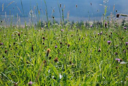 Wildblumenwiese (bitte anklicken, um das Bild zu vergrößern)