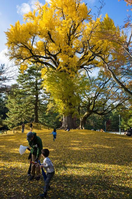 京都御苑の銀杏