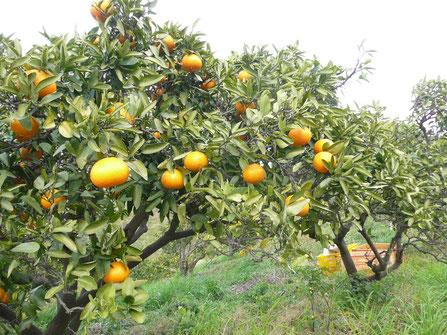 伊予柑の収穫