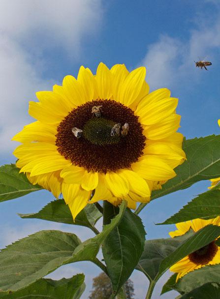 Bienen bei der Arbeit/Bees at work, Photografie auf Leinwand/Photo on canvas, 40x50 cm.