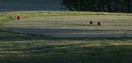 Amsel auf Golfplatz, Foto: Sabine Tappertzhofen