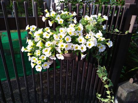 カリブラコア。ほんとによく咲くので毎日花がらを摘んでいます。