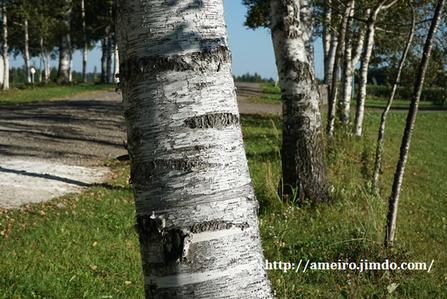 白樺の老木の樹皮は褐色を帯びていく 十勝牧場にて