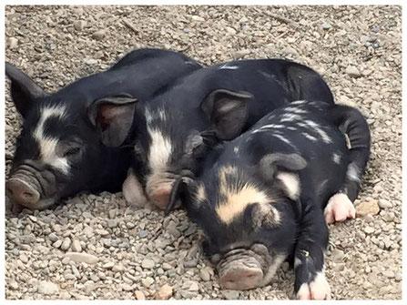 Idaho Pasture Pigs - Sheppard Ranch