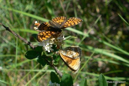 Papillons ARGYNNIS et MELITAE CINXIA