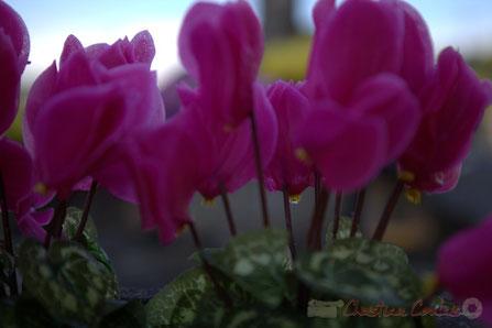 Art funéraire chrétien, cyclamen mauve, fleurissement des tombes © Christian Coulais