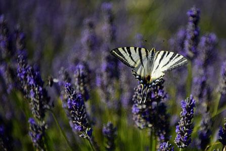 Andreas Maria Schäfer, fotograph1956,Fotografiewelten,Provence,Lavendel, Reise, Sommer,Exkursion,Schmetterling,