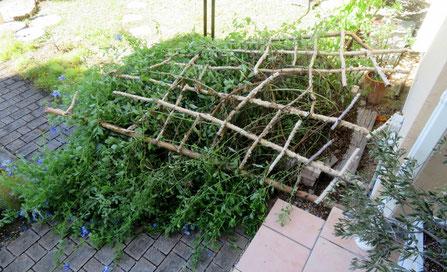 台風で倒れた白樺のトレリスとルリマツリ。