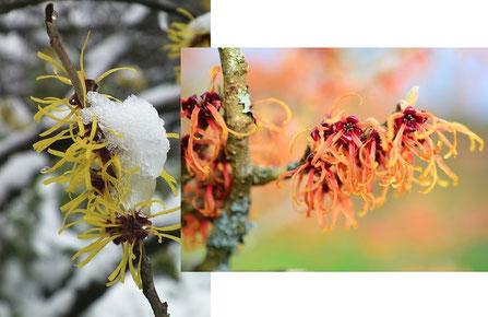 Bild: Winterblüher gelbe und orange Zaubernuss