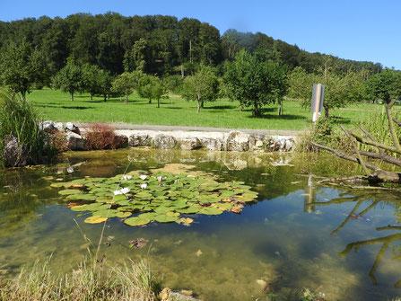 Der neue Teich am Eschbach am 19. Juli 2016 mit Blick nach Süden (Foto Thomas Tschopp)