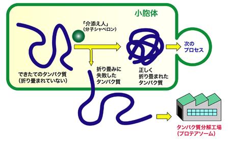 「分子シャペロン」は、タンパク質が正常な構造・機能を獲得するのを介添えする。