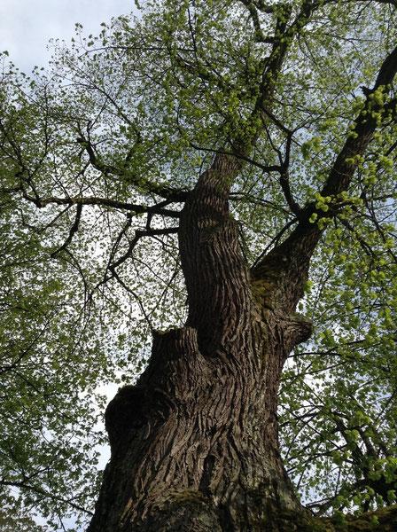 Großer Baum - BaumService Lehmer