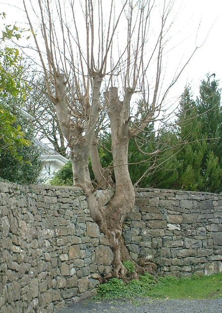 石積みの中にある植木 木?石?どちらが先なの?植木の根っこは力強い!!