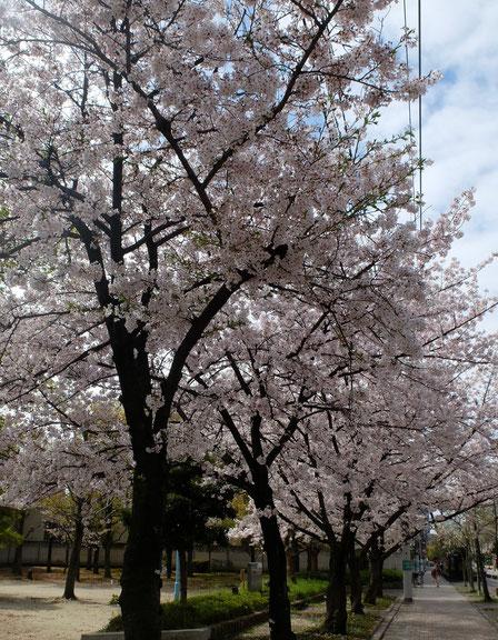 公園外側の桜並木が一番の見どころ