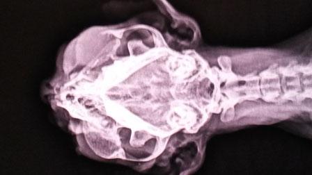 Tumor im Oberkieferbereich einer Katze