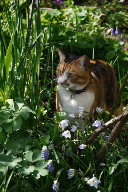 2013・4 春のはじめ、ニラやムスカリが咲いて