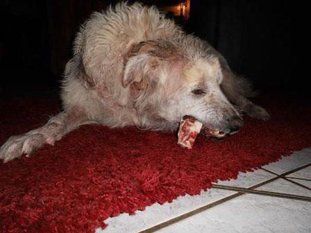 Betty in ihrer Pflegefamilie ... noch ist alles neu und unbekannt für die Hündin, die nichts als das Tierheim kennt. Aber der Knochen schmeckt *freu*.