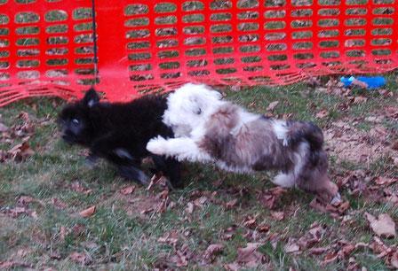 in der Welpengruppe: Hilfe, ein Tibet Terrier bedrängt mich
