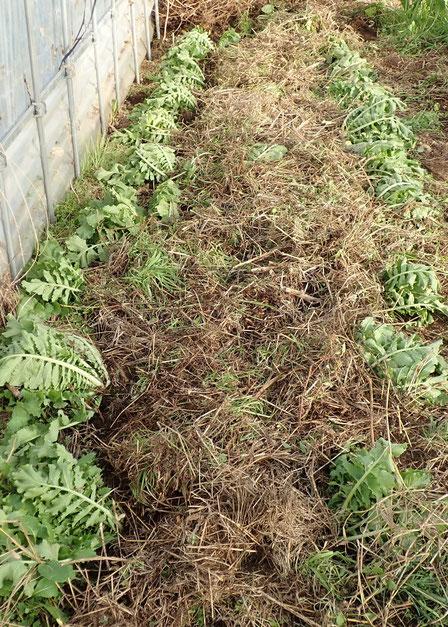 ダイコン 自然栽培 固定種 農業体験首都圏 体験農場首都圏 野菜作り教室首都圏  さとやま農学校 無農薬栽培 種取り