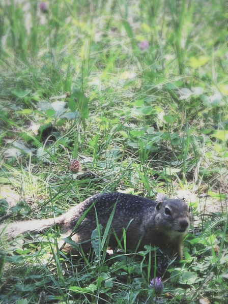 bigousteppes russie altai marmotte foret