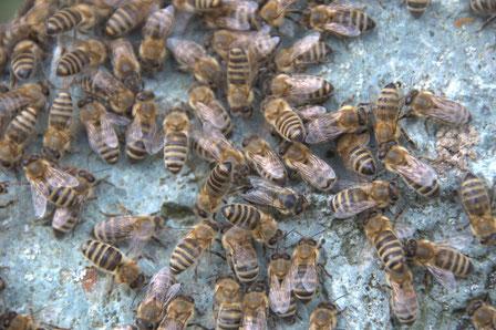Bienen sitzen auf einem Stein