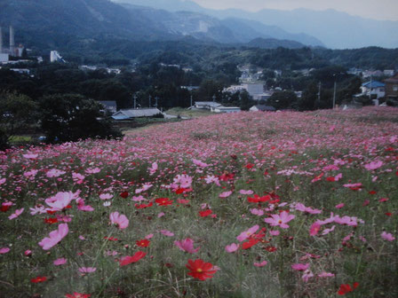 コスモス畑になった寺坂棚田・2005年10月6日