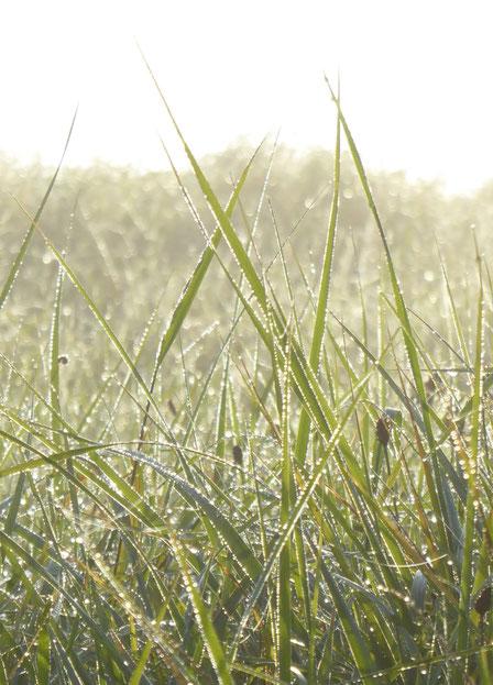 Gras im Morgentau mit Wassertropfen
