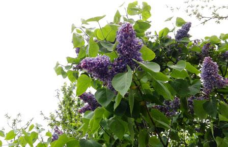 Lilac in Kiev