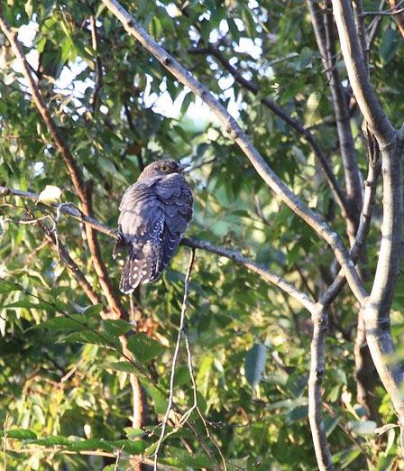 10月24日(2014) 渡り鳥の休息Ⅱ:ツツドリ(10月17日に野川公園の自然観察園で撮影されたもの(ご投稿の頁をご覧ください)