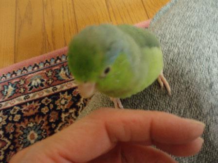 愛鳥のUちゃんです。
