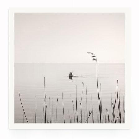 """""""Diving Swan"""" Art Print von Lena Weisbek. Minimalistische Naturfotografie in schwarz-weiß."""