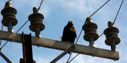 Imatge de l'aligot de Harris localitzat a les Borges Blanques damunt d'una torreta d'electricitat. (Foto: ACN)