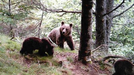 Una óssa amb dos cadells al Parc Natural de l'Alt Pirineu. / DEPARTAMENT D'AGRICULTURA