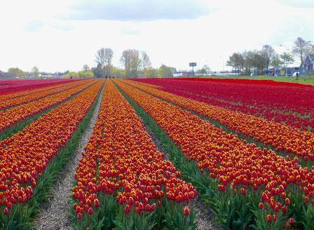 Tulpenfelder in Lisse Holland Sehenswürdigkeit  Blumenfestival Keukenhof Holland Frühlingsblüten