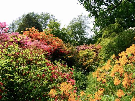 Gartenreise England Sehenswürdigkeiten Hole Park and Gardens Rhododendron