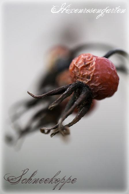 Rosiger Adventskalender im Hexenrosengarten - Rugosa-Hybride Schneekoppe - Hagebutten
