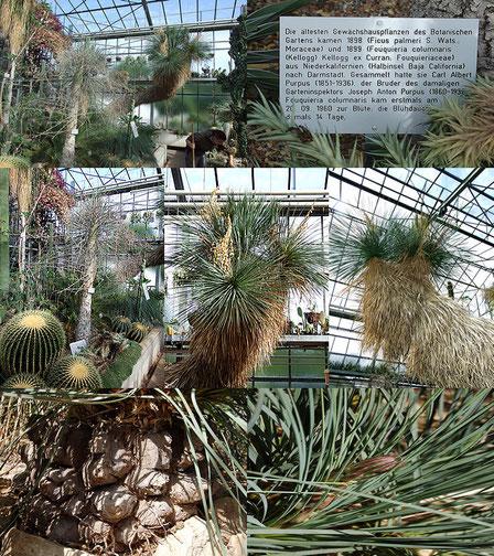 Bild Die Gewächshäuser des Boga Darmstadt  mit der riesigen Yucca linearifolia