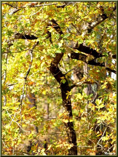 Chêne automnal en plein soleil, forêt sur le Bassin d'Arcachon (33)