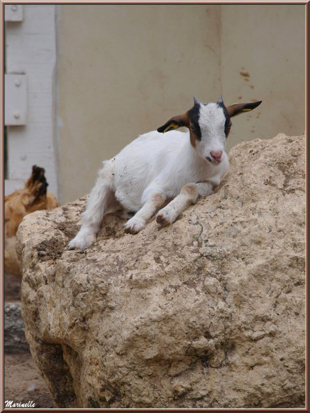 Chèvre naine, Parc de la Coccinelle, mini-ferme à Gujan-Mestras, Bassin d'Arcachon (33)